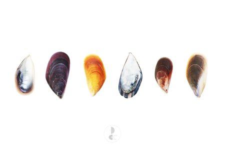 shells colored