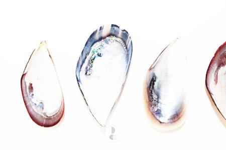 shells purple
